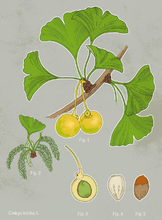 Ginkobaum Illustration Frucht